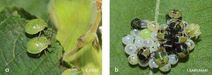 Fındık yeşil kokarcası 1. dönem nimfleri ve 3. nimf dönemleri