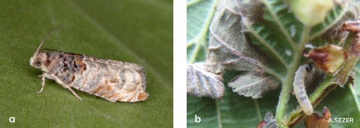 Fındık filizgüvesi ergini ve larvası