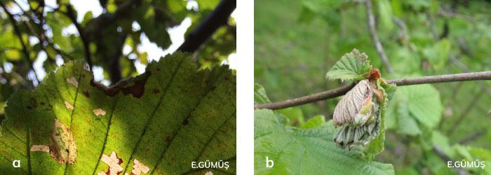 Fındık filizgüvesi larvasının yapraktaki ve sürgünlerdeki zarar şekli