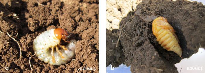 Mayıs böceği larvası ve pupası