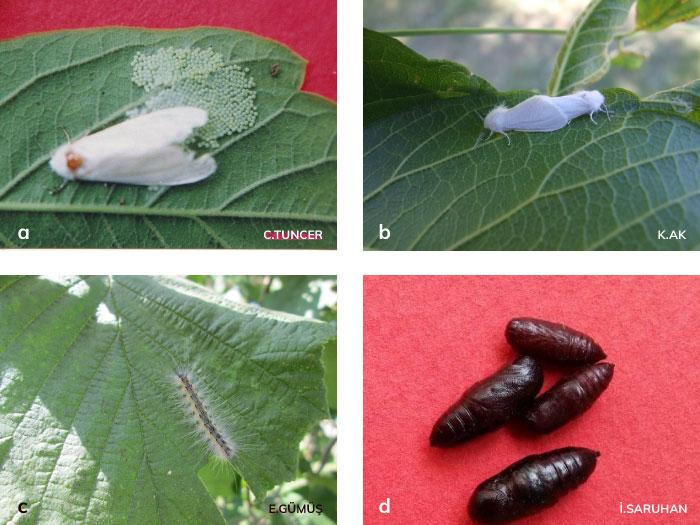 Amerikan beyaz kelebeğinin ergin ve yumurta kümesi, ergini, larvaları, pupaları