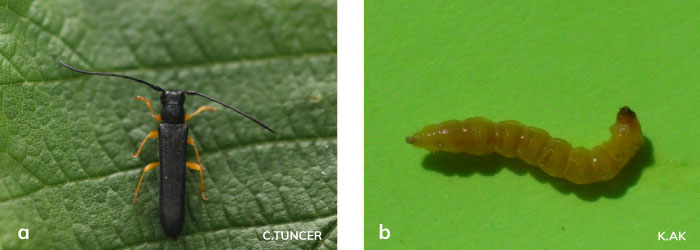 Fındık teke böceği ergini ve larvası