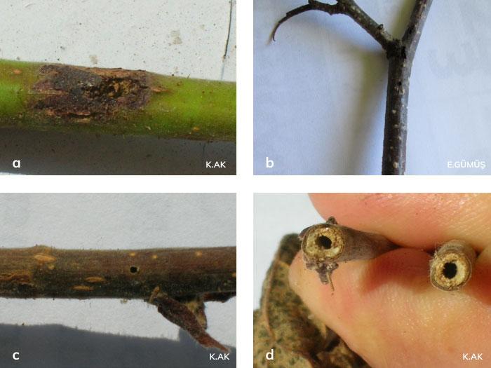 Fındık tekeböceği