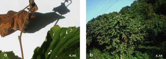 Fındık tekeböceği larvalarının sürgündeki zararı ve beslenme sonucu kuruyan sürgün