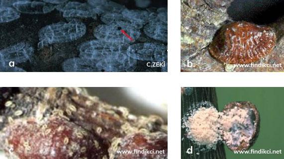 Fındık koşnili'nin dişisi ve erkeği, dişi kabuğu üzerinde dolaşan yumurtadan yeni çıkmış larvalar