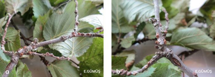 Fındık koşnili kolonisi üzerinde entomopatojenler