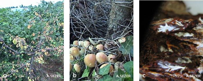 Fındıkta Armillaria kök çürüklüğü etmeninin oluşturduğu şapkalı mantarları, ağaçlarda kuruma belirtisi ve kökte kabuk altındaki misel tabakası