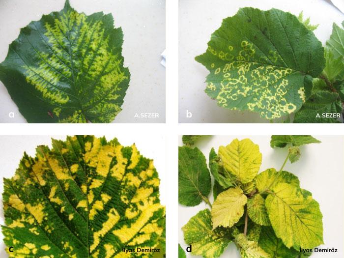 Elma Mozaik Virüs'ün fındık yapraklarında oluşturduğu mozaik tipi lekeler.