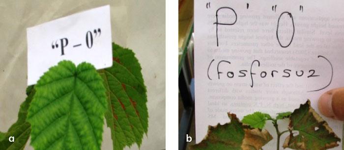 Bitkide fosfor eksiklik belirtileri