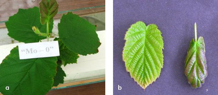 Bitkide molibden eksiklik belirtileri