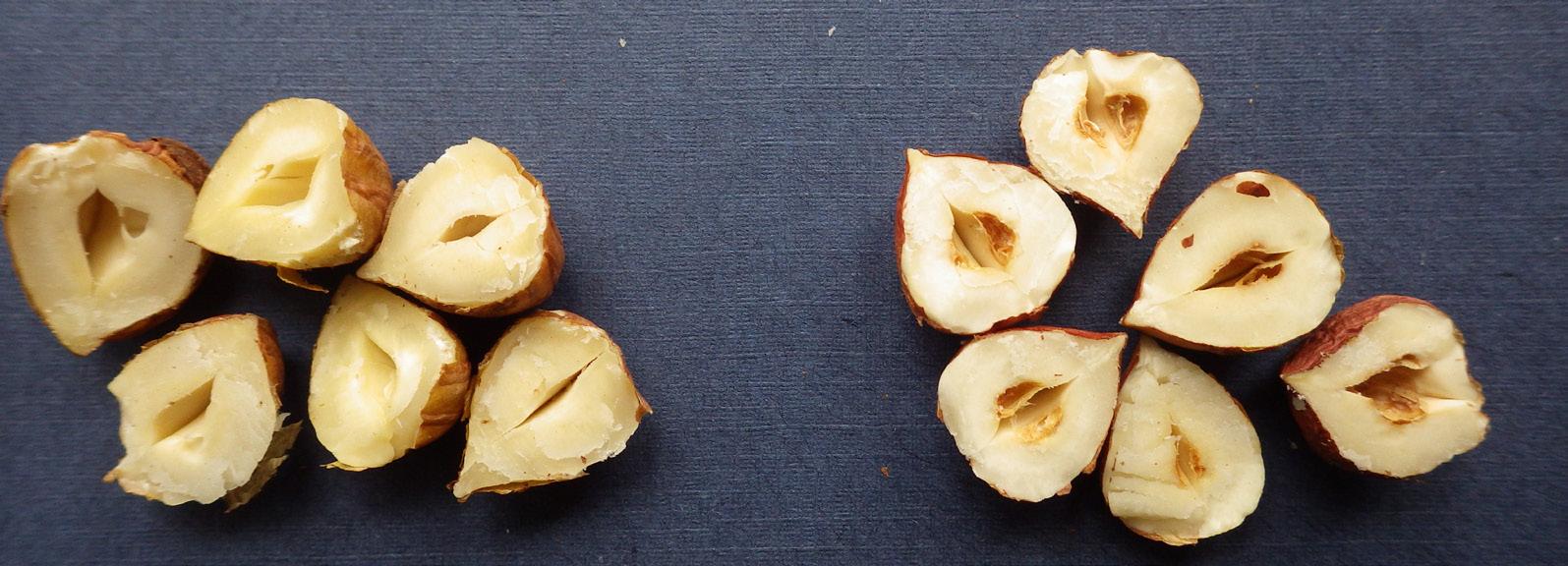 Fındık meyvesinde göbek boşluğu kahverengi leke belirtisi (sağda lekeli, solda normal meyveler
