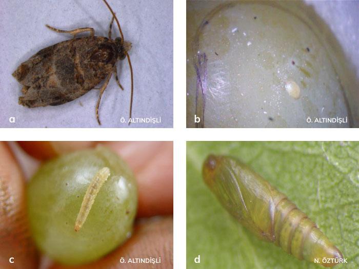Salkım güvesi ergini, larvası, yumurtası ve pupası