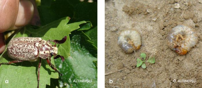 Haziran Böcekleri'nin ergini ve larvası