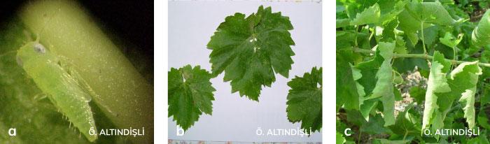 Bağ yaprakpireleri'nin oluşturduğu kıvrılma
