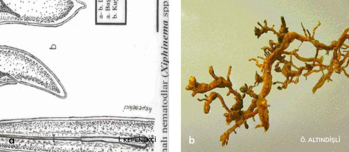 Kamalı nematodlar'ın köklerde oluşturduğu zarar