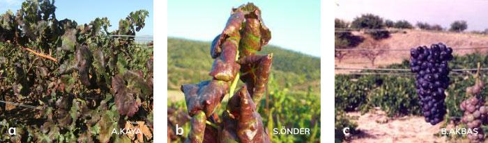 GLRaV nedeniyle kırmızı üzüm çeşitlerinde ki yaprak kıvrılması