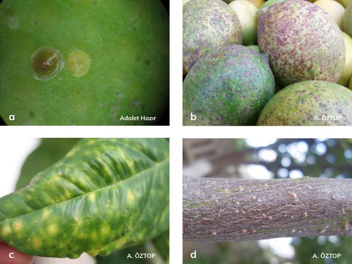 Turunçgil kırmızı ve sarı kabuklu bitinin meyve ve yapraktaki zararı
