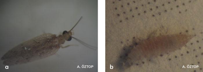 Sympherobius fallax ergin ve larvası