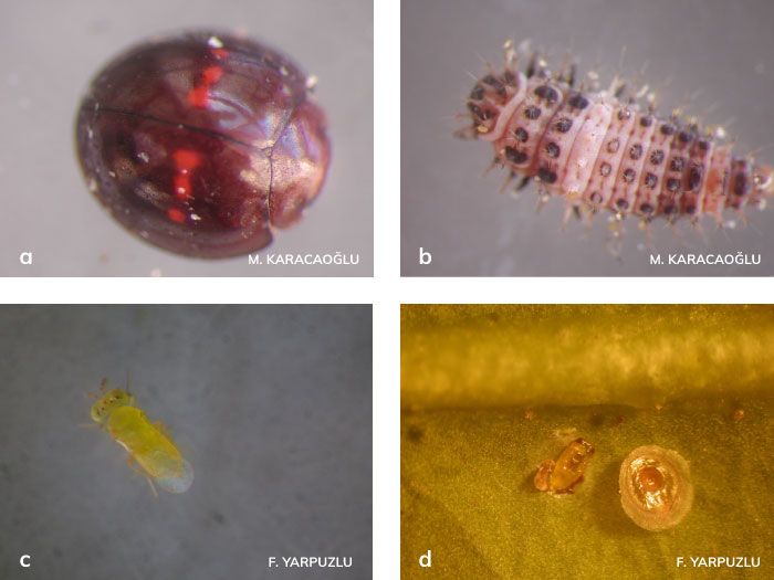 Turunçgil kırmızı ve sarı kabuklu bitinin biolojik mücadelesi