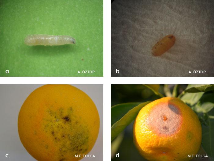 Akdeniz meyvesineği larvası ve zararı
