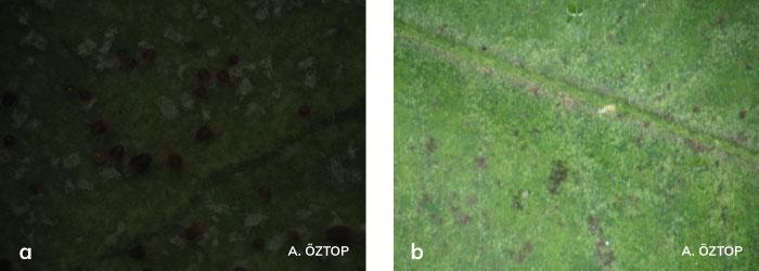 Yaprakta Turunçgil kırmızıörümceği zararı