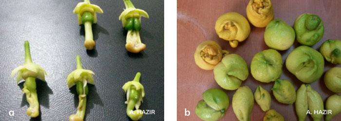 Turunçgil tomurcuk akarı zararı sonucu oluşan meyveler