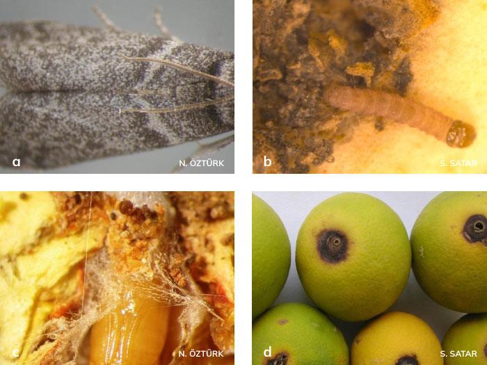 Harnup güvesi ergini, larvası, pupası ve zararı