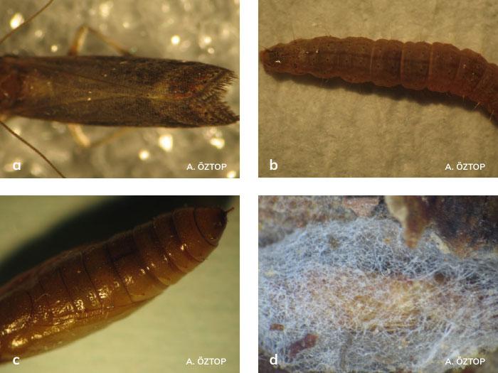 Portakal güvesi ergini, larvası, pupası ve kokonu