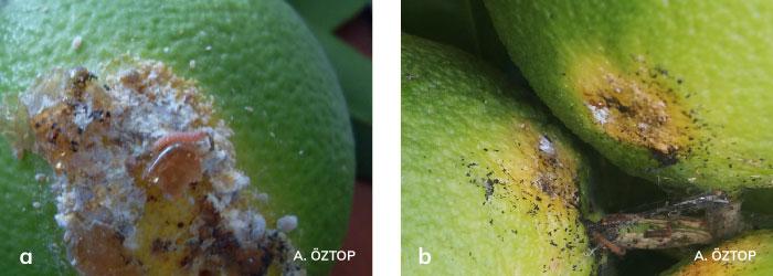 Turunçgil unlubit ve Portakal güvesi larvası
