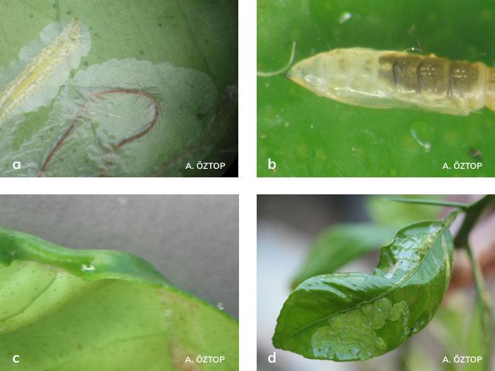Turunçgil yaprak galerigüvesi larvası, pupası ve yapraktaki zararı
