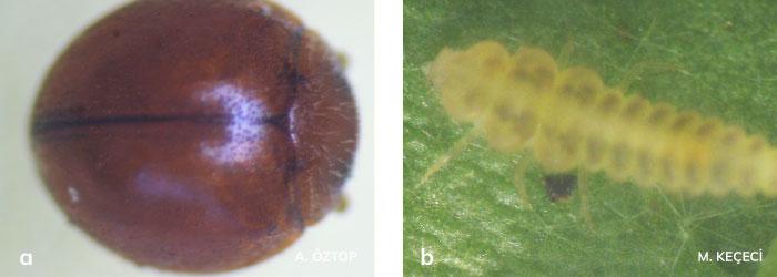 Serangium parcesetosum ergini ve larvası