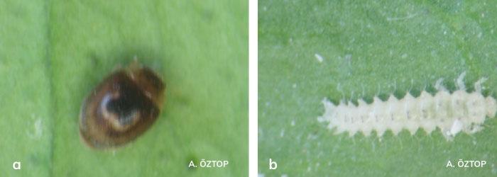 Clitostethus arcuatus ergini ve larvası