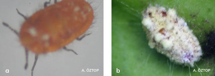 Torbalı Koşnil'in hareketli (1. ve 2. dönem) nimfi