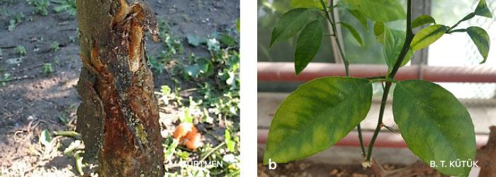 Gövdede turunçgil psorosis virüsünün oluşturduğu kabuk dökülmeleri