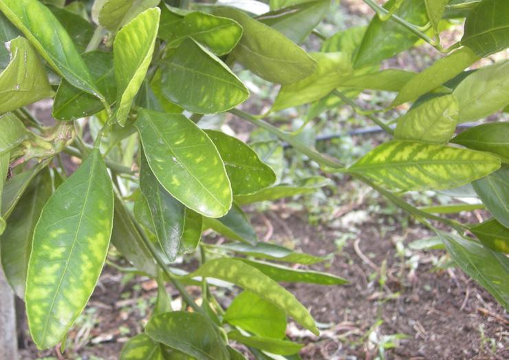 Çinko noksanlığının turunçgil yapraklarındaki belirtileri