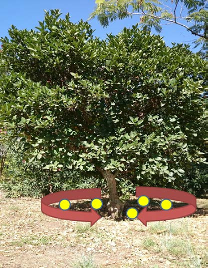 Ağaç taç izdüşümünden örnek alma şekli