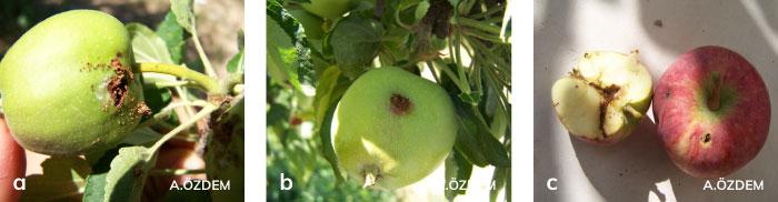Elma içkurdu'nun meyvedeki zarar şekiller