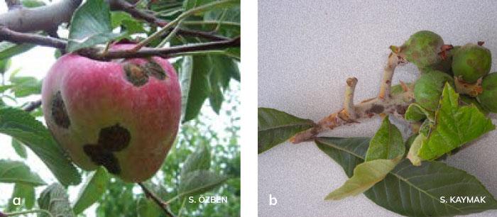 Elma karalekesi'nin yaprağın üst yüzeyindeki belirtisi ve yaprağın alt yüzeyindeki belirtisi