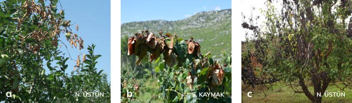Enfekteli elma ve ayva ağaçlarında kızılımsı kahverengi renk değişikliği