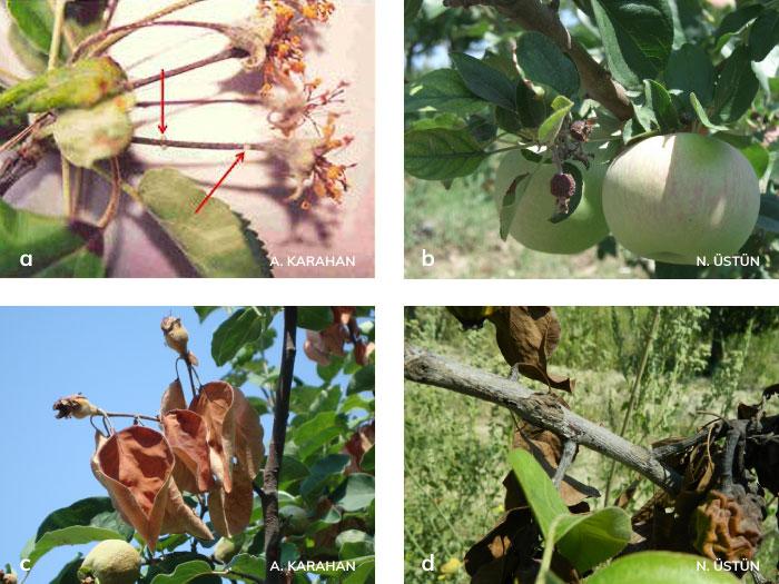 elma, armut ve ayvada mumyalaşmış meyve