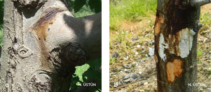 Elma ağacının gövdesinde kanser ve bakteriyel akıntı