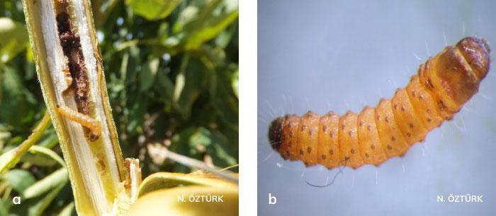 Ağaç sarıkurdu'nun genç ve olgun larvası