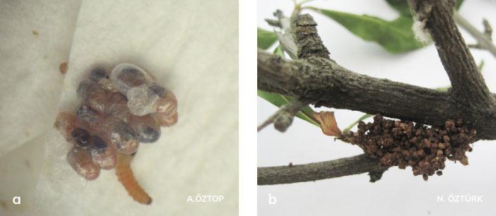Ağaç sarıkurdu'nun birinci dönem larvaları ve galeri ağzındaki beslenme pislikleri
