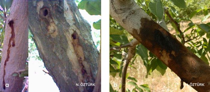 Ağaç sarıkurdu larvasının giriş yaptığı galeride oluşan bitki özsuyu akıntısı ve Ağaç sarıkurdu'nun zararı sonucu yoğun bitki özsuyu akıntısı