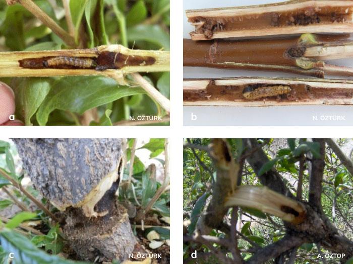 Ağaç sarıkurdu'nun bitki odun dokusunda açmış olduğu galeriler ve zararı