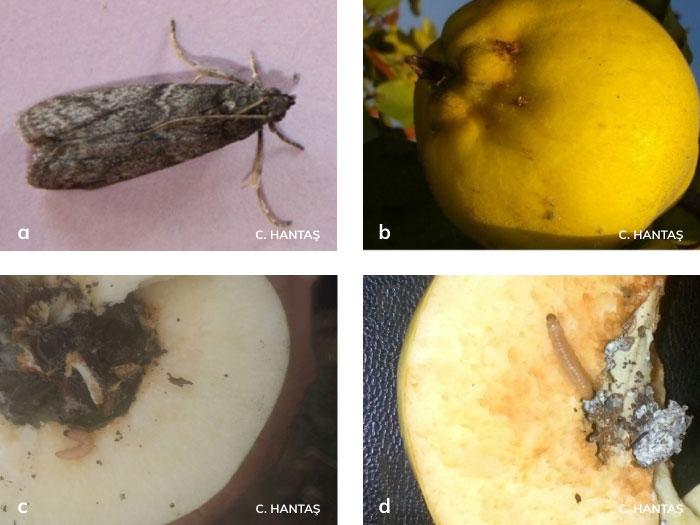 Ayva içkurdu'nun Ergini, Meyvede larvanın çıkış deliği, Meyvedeki zararı
