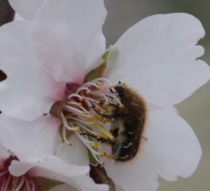 Çiçekte beslenerek zarar yapan baklazınnı ergin
