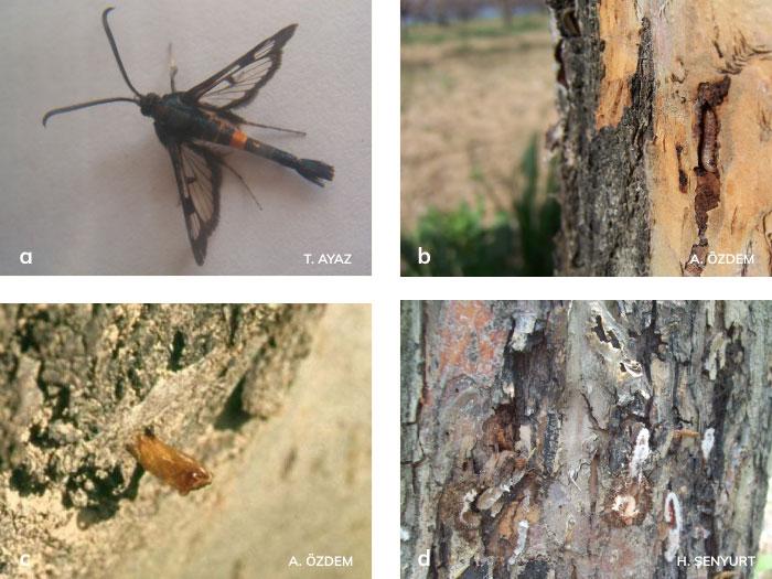 Elma Gövde Kurdu'nun Ergini Larva ve zararı Pupa gömleği, Larva ve pupaları