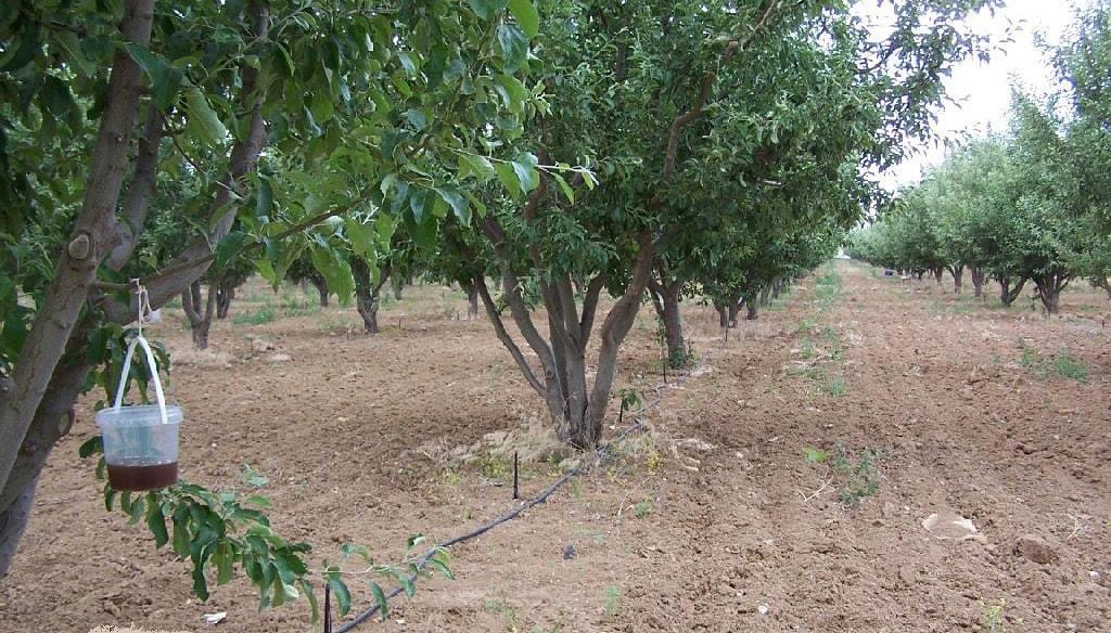 Elma Gövde Kurdu mücadelesinde kullanılan besi tuzağının asılma şekli