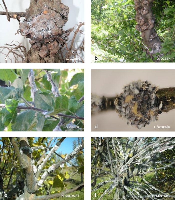 Elma pamuklubiti'nin Kökboğazında, Gövdede meydana getirdiği urlar, Dal ve sürgünlerde oluşturduğu koloniler